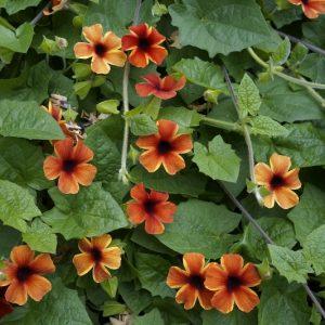 Thunbergia alata Tangerine Slice-A-Peel Laval