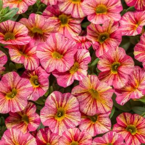 Calibrachoa superbell Tropical Sunrise Laval